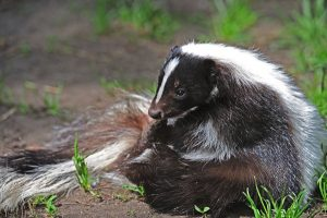 Buckeye Wildlife Solutions skunk removal image 3