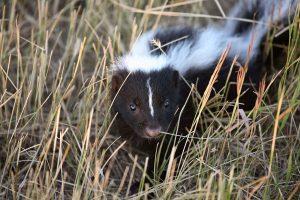 Buckeye Wildlife Solutions skunk removal image 2