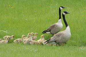 Nesting geese can become a serious problem for land and water.