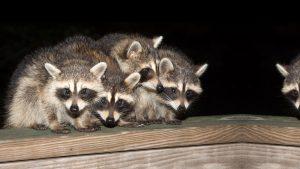 dayton-raccoon-removal