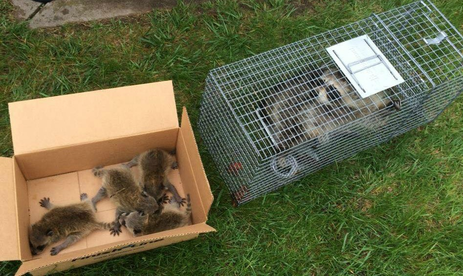 A Warren Raccoon Removal tech humanely trapped this mother raccoon and her kits