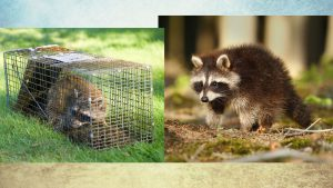 ohio-raccoon-removal-header for Buckeye Advertising Solutions (BAS)