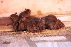Rats can be a real problem in some areas of Ohio.