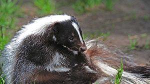 skunk-header