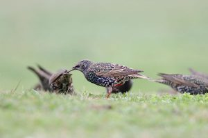 Starlings can cause hundreds of millions of dollars of damage to agricultural operations yearly.