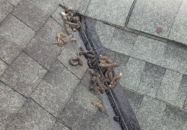 Raccoons left a trail of feces along this client's roof. Fortunately, GO Green Pest Control was able to eliminate this raccoon issue. Choose Warren Raccoon Removal Today!