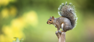 Squirrel Removal Dublin