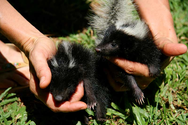 Skunk Trapper