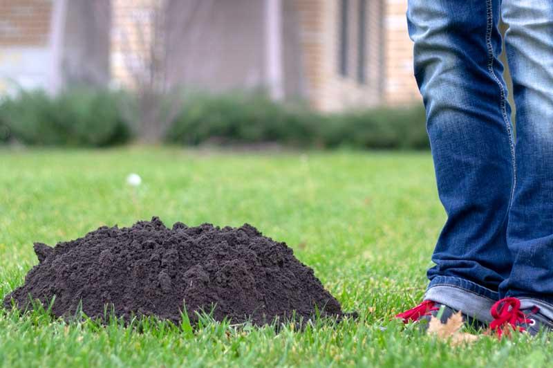 moles in lawn