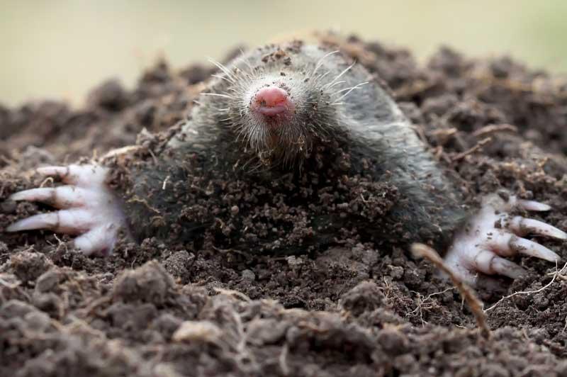 lawn mole removal